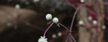 Dentata Ruby Blossom flower