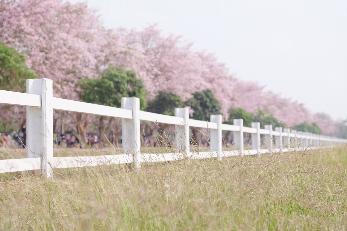 White fence with cherry blossom