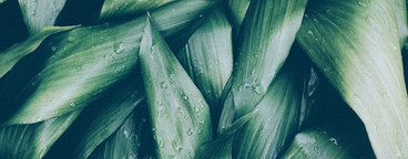 Green tropical leaves