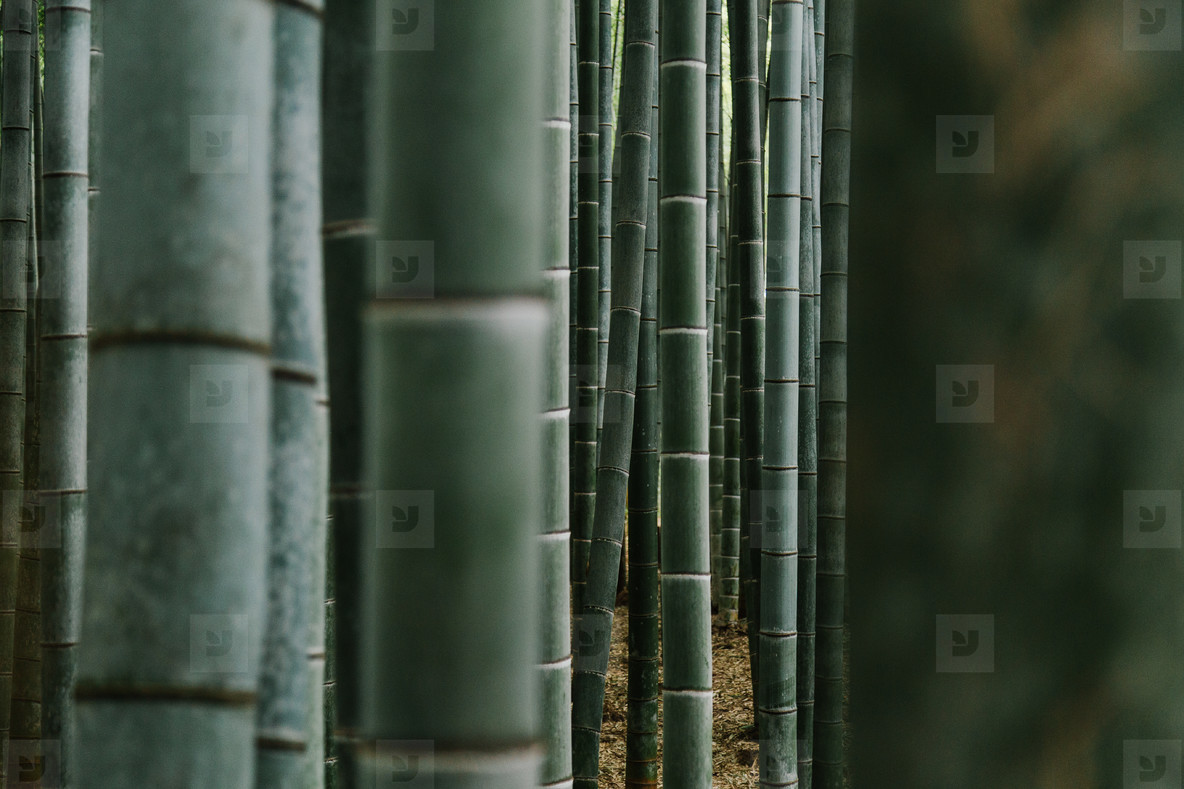 Bamboo  01