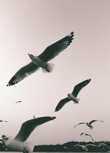 Pigeons  03