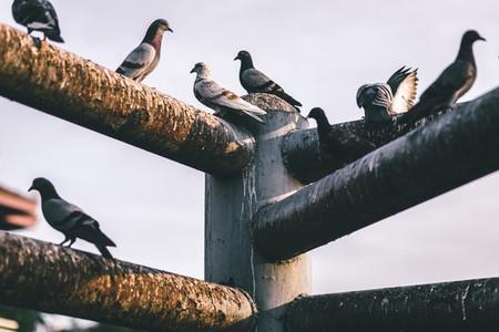Pigeons  04