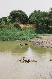 Family of wood ducks