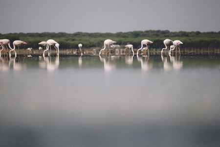 Flamingos in the marshes