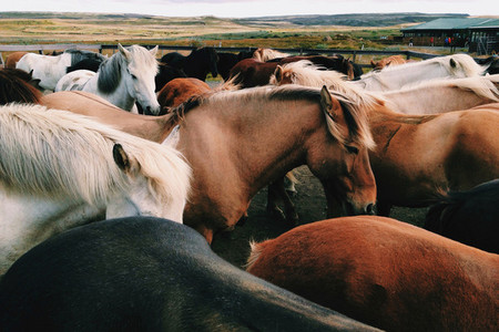 Herd of Icelandic horses