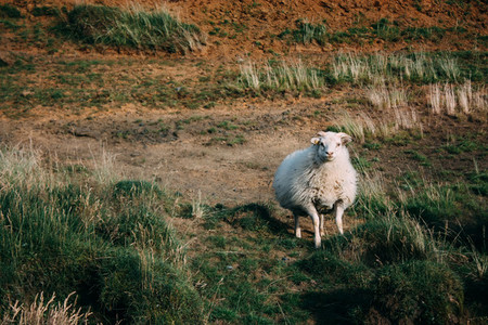 Sheep looking at the camera in Iceland