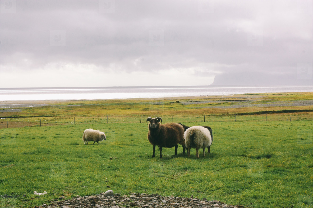 Sheep near ocean in Iceland  north landscape