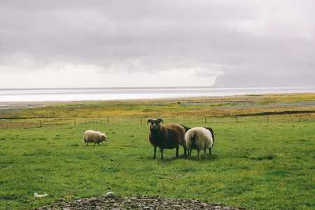 Sheep near ocean in Iceland north landscape
