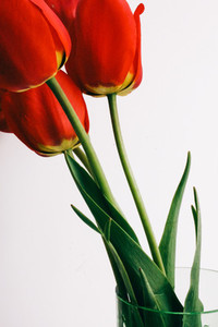 Red Flowers on White Background  Tulips