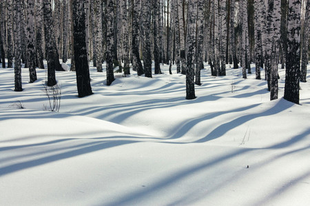 Sunlight Between the Trees in Winter Forest