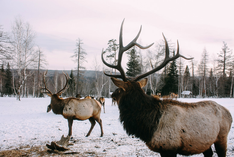 Royal red deer buck with antlers look at forest