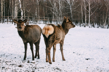 Fawns  young red brown deer in winter