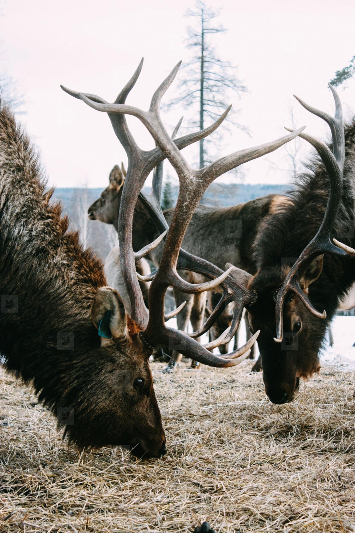 Royal red deer buck with antlers