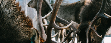 Royal red deer buck with antlers