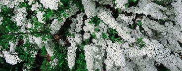 Spiraea alpine  meadowsweet  01