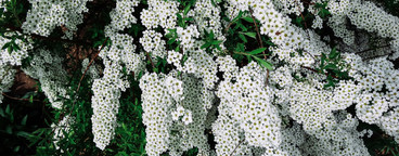 Spiraea alpine  meadowsweet  spring flower  white blossoming shrub  Macro view of bush of the tiny white flowers