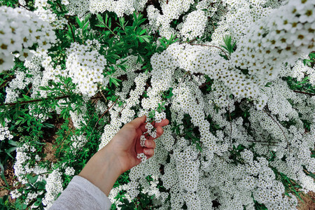 Spiraea alpine  meadowsweet  spring flower  white blossoming shrub with hand  Bush of the tiny white flowers