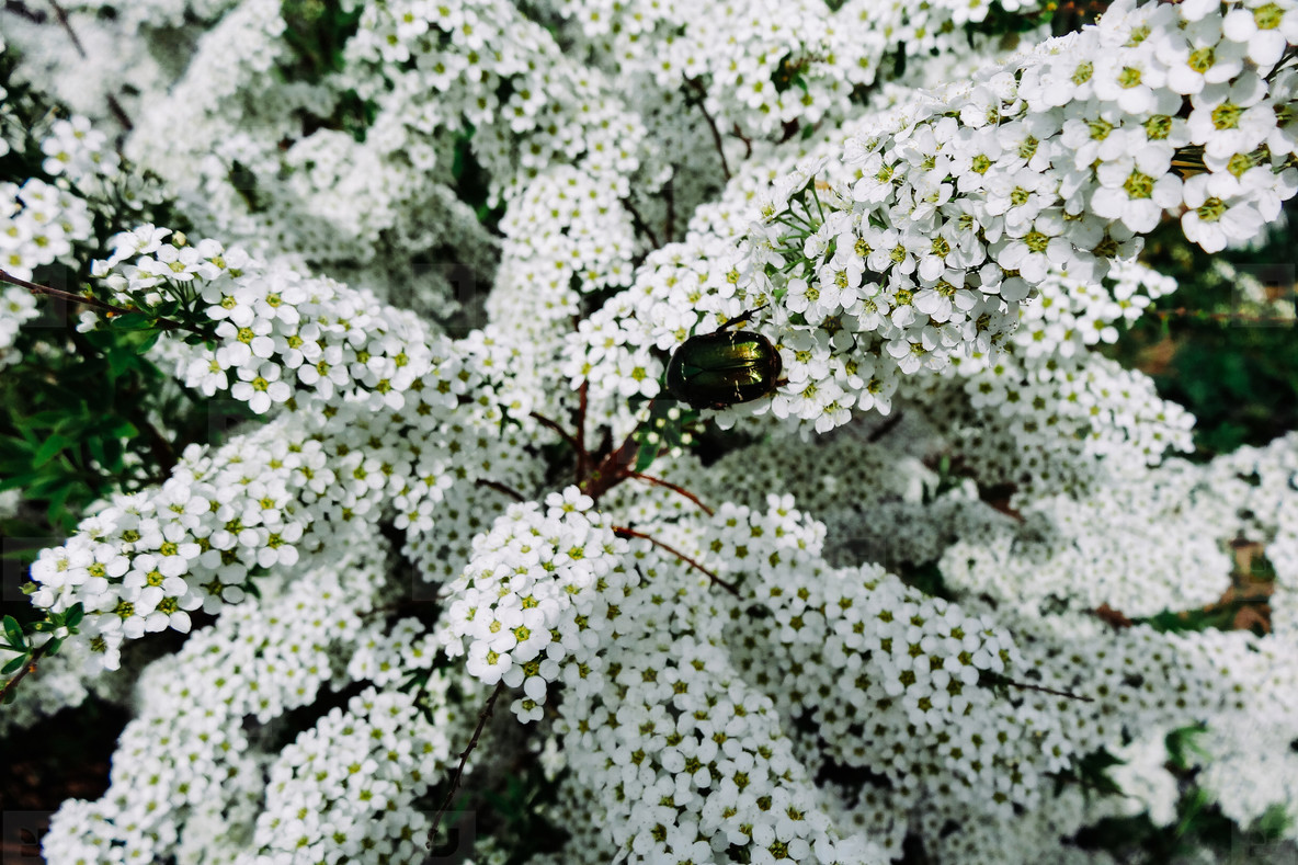 Spiraea alpine  meadowsweet