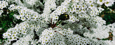 Spiraea alpine  meadowsweet  spring flower  white blossoming shrub with beetle  Macro view of bush of the tiny white flowers