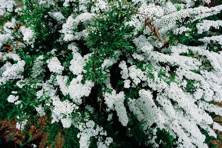 Spiraea alpine  meadowsweet  spring flower  white blossoming shrub  Bush of the tiny white flowers
