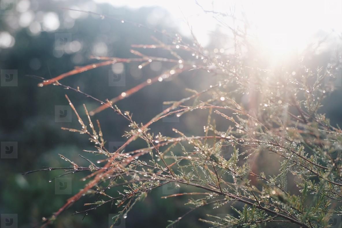 Pine s leaf