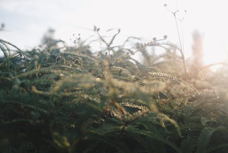 Fern at dawn