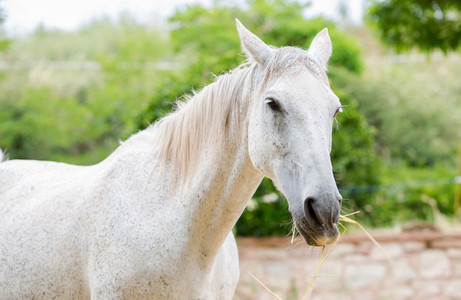 Close up of a white horse