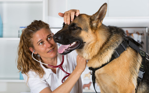 Veterinary with a German Shepher