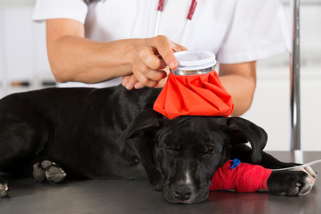 Vet with his dog American Staffo