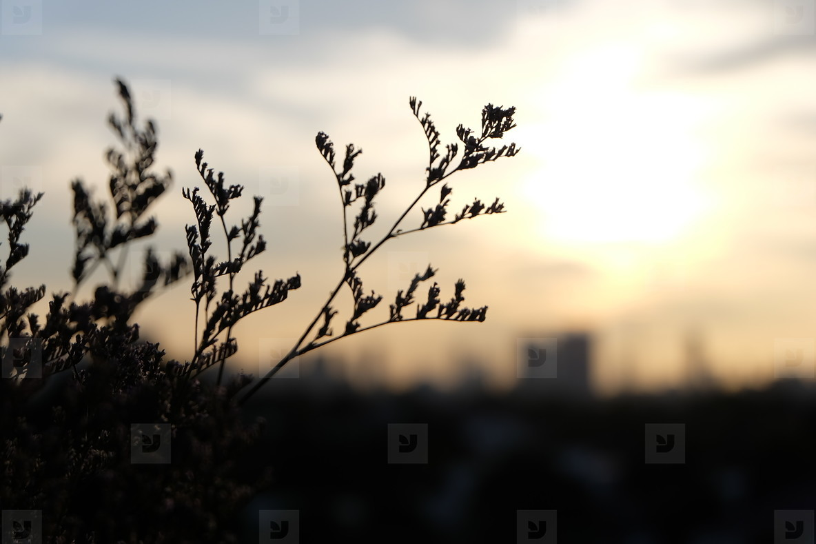 Grass flower and sunset