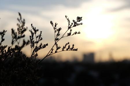 Grass flower and sunset