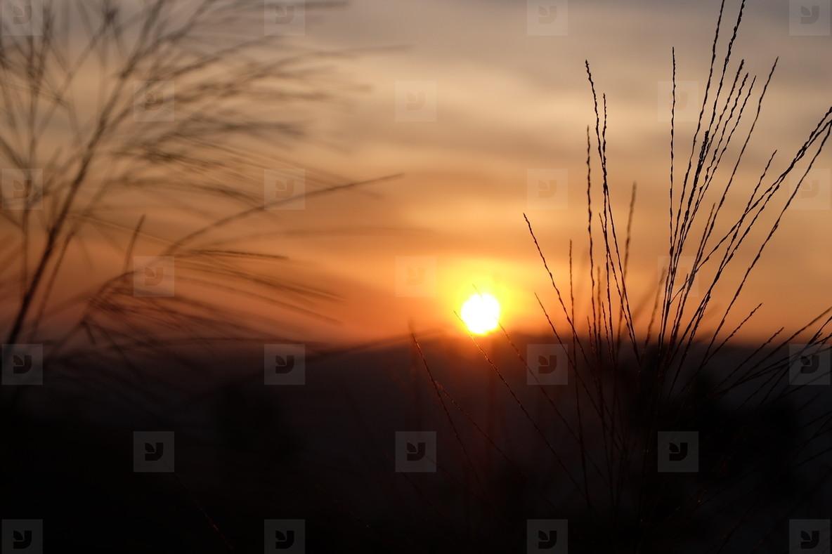 Grass flower and sunset  05