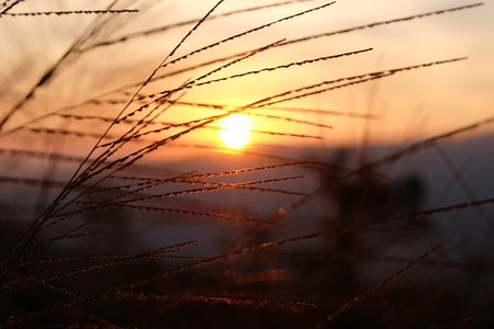 Grass flower and sunset  06