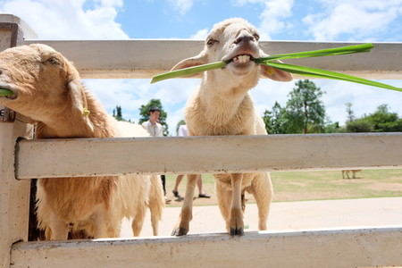 Funny goat on farm eating
