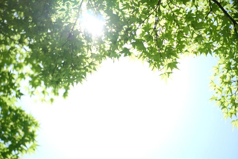 Tender green maple tree leaf