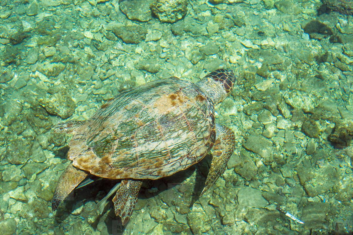 Loggerhead Sea Turtle Caretta   swimming in the bay of Kasteloriz0