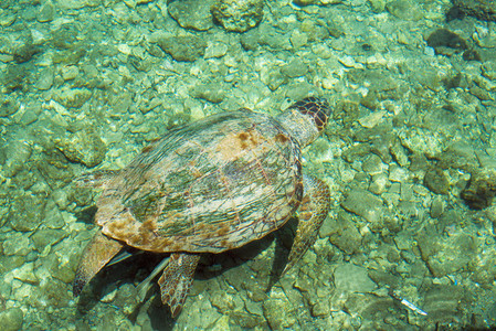 Loggerhead Sea Turtle Caretta  swimming in the bay of Kasteloriz0