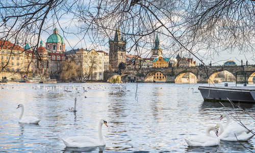 View over Charles bridge  Stare Mesto  Vltava river and swans in Prague  Czech Republic