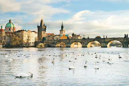 The Vltava river Charles bridge and white swans in Prague Cze