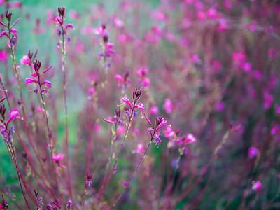 Pinc flowers