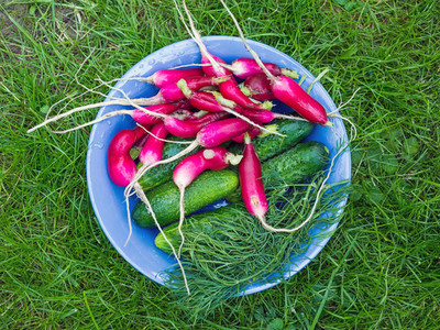 A bawl of fresh garden vegetables  radish  cucumbers and dill