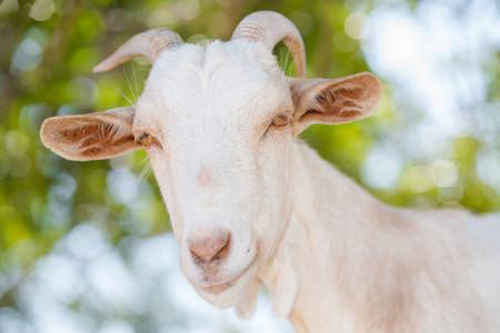 Goat Pyrenees