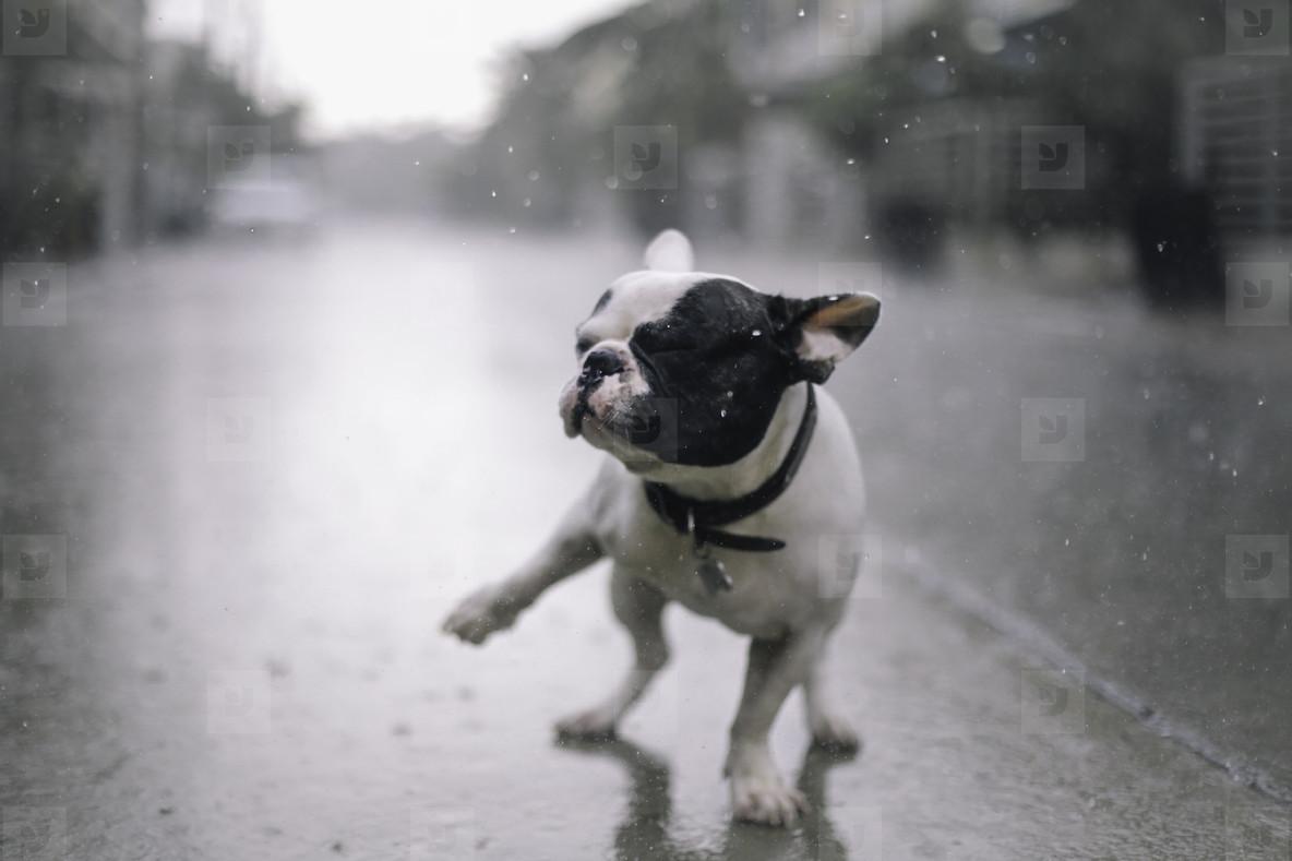French bulldog playing on rain