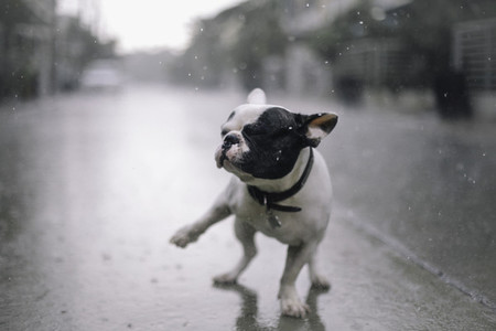 French bulldog playing on rain