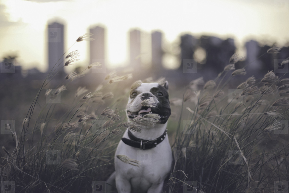 French bulldog with summer grass