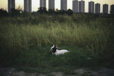 French bulldog lying on grass