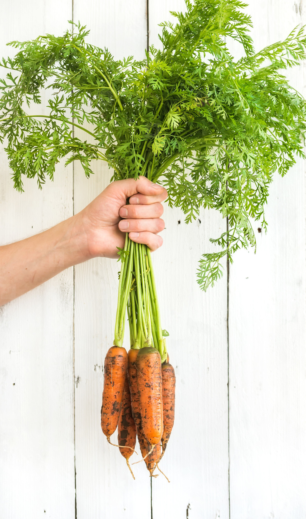 Bunch of fresh garden carrots with green leaves in the hand  white wooden backdrop