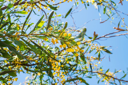 Blooming mimosa tree branch over blue sky