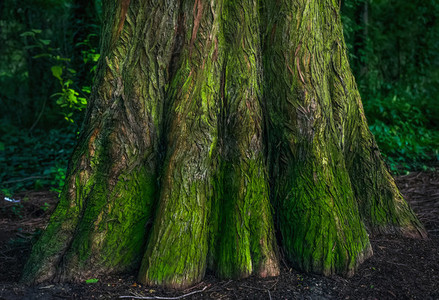 The bottom of the mossy trunk of a tree in the forest