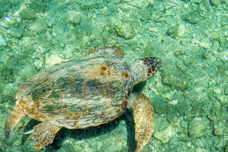 Loggerhead Sea Turtle Caretta   swimming in the bay of Kastelorizo